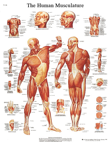 human muscle chart #vr1118 for sale | anatomy now, Muscles