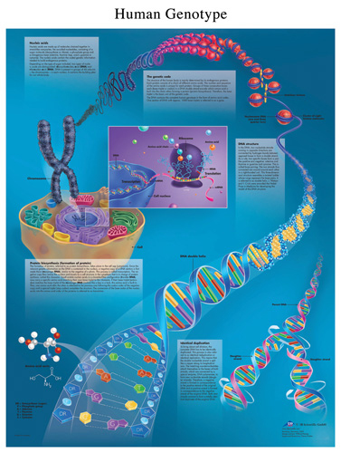 DNA Human Genotype Chart #VR1670 for sale | Anatomy Now