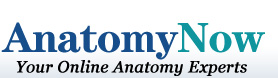 AnatomyNow - Your Online Anatomy Experts