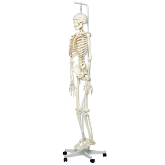 Human skeleton foot side - photo#6