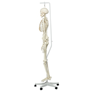 Human skeleton foot side - photo#26