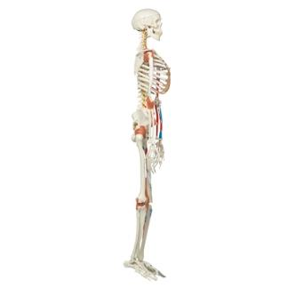 super human skeleton sam model on hanging stand #a13.1 for sale, Skeleton