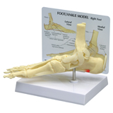 Personalized Foot & Ankle Model