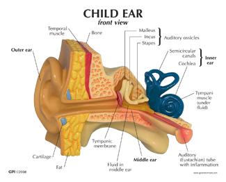 ampulla of ear - 325×262