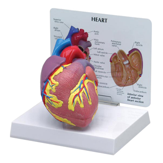 Human Heart Anatomical Model #2500 for sale | Anatomy Now