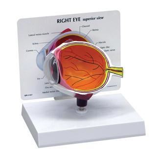 Human Anatomical Human Eye Model 2750 For Sale Anatomy Now