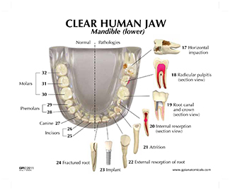 Diagram of mandible with teeth circuit connection diagram human teeth and jaw model clear 2861 for sale anatomy now rh anatomynow com human jaw diagram human jaw diagram ccuart Images