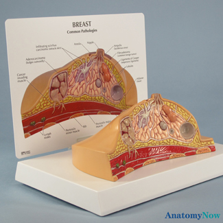 Human Breast Cross Section Model 3450 For Sale Anatomy Now