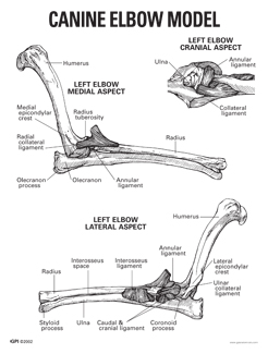 Canine elbow anatomy