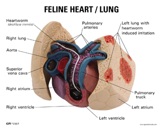 Feline Heart Model with Lung #9141 for sale | Anatomy Now
