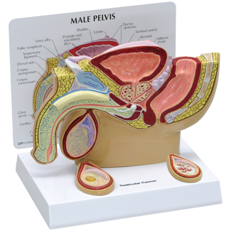Human Male Pelvis With Testicles Model 3570 For Sale