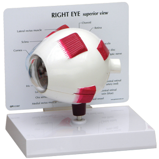 Human Full Eye Anatomy Model #2751 for sale | Anatomy Now